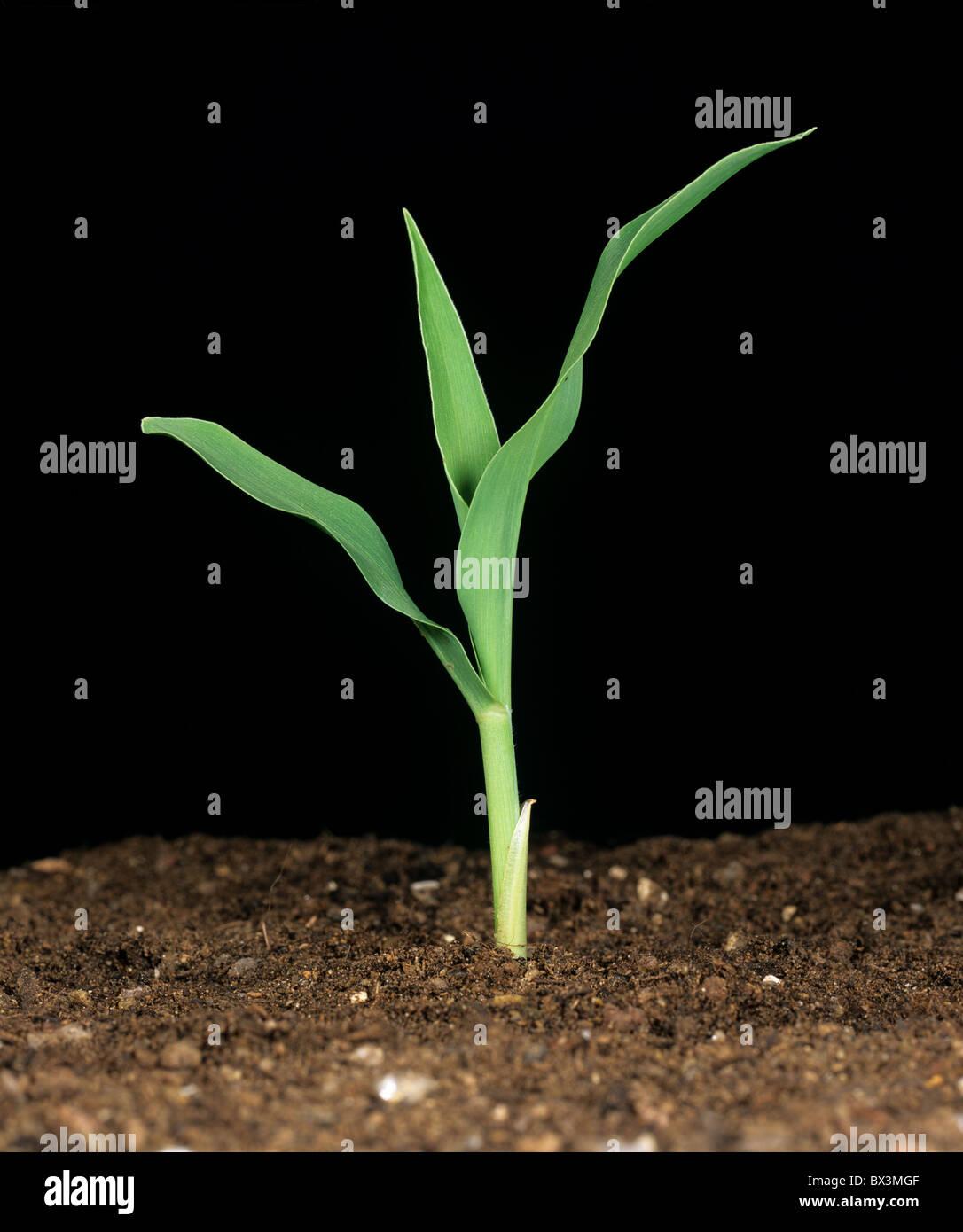Les jeunes maïs, maïs, maïs sucré ou sur un fond noir Photo Stock