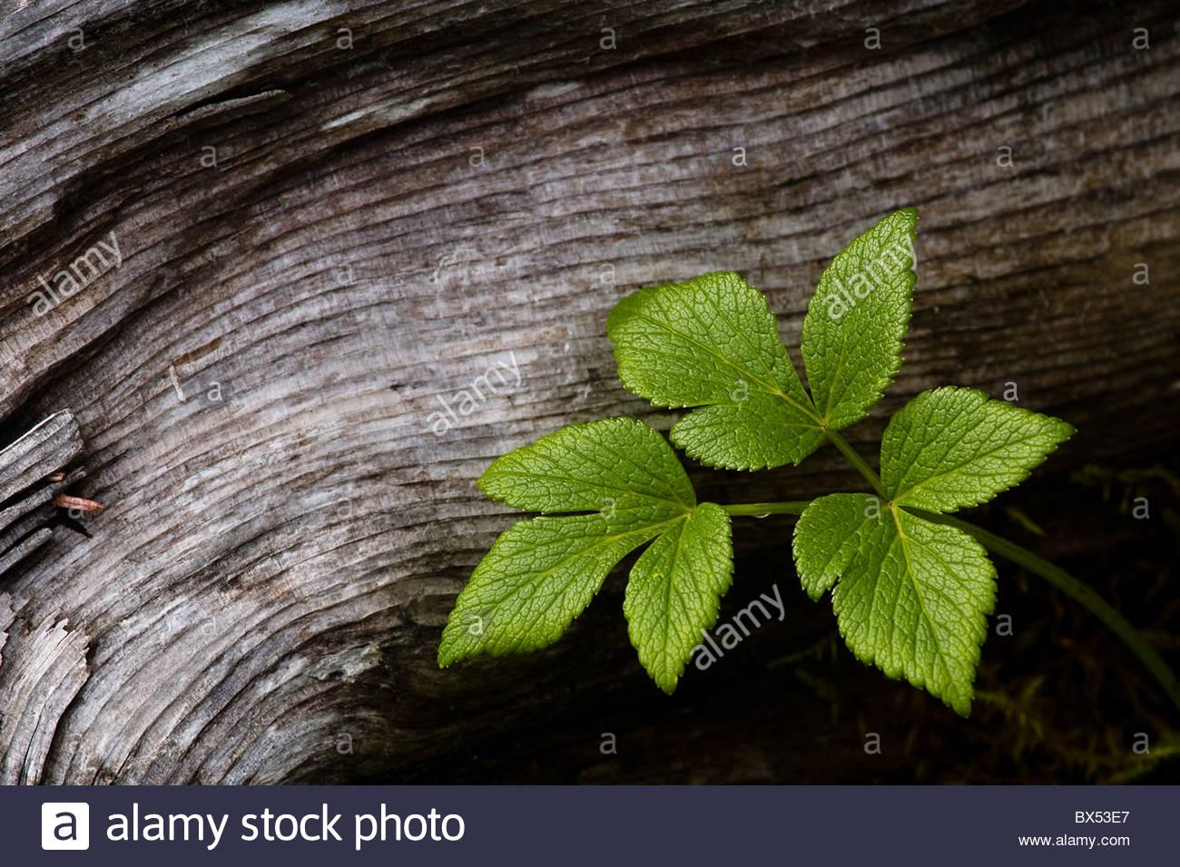 Détail de feuilles juxtaposé aux grains d'une tombée log in Kenai Fjords National Park. Photo Stock