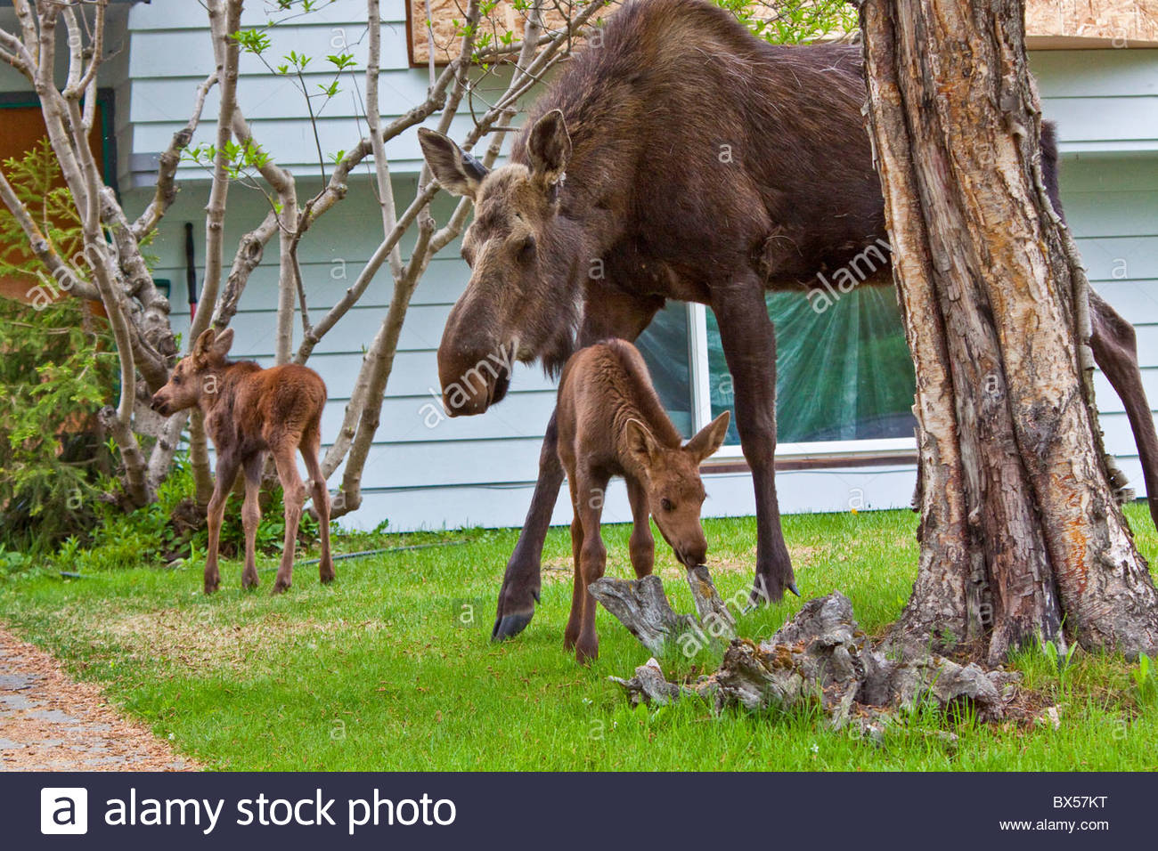 Avec sa maman Moose veaux dans un quartier résidentiel d'ancrage. Photo Stock
