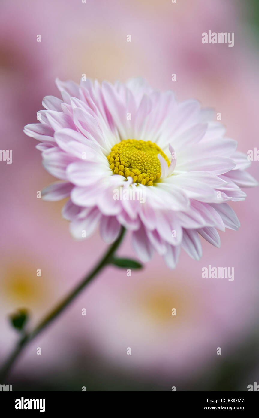 Un seul Anglais Daisy Flower - Bellis perennis Banque D'Images