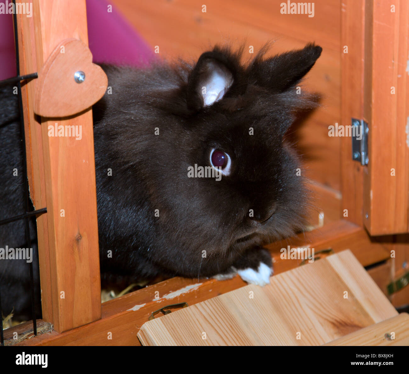 Lionhead noir femelle Lapin dans une huche Banque D'Images