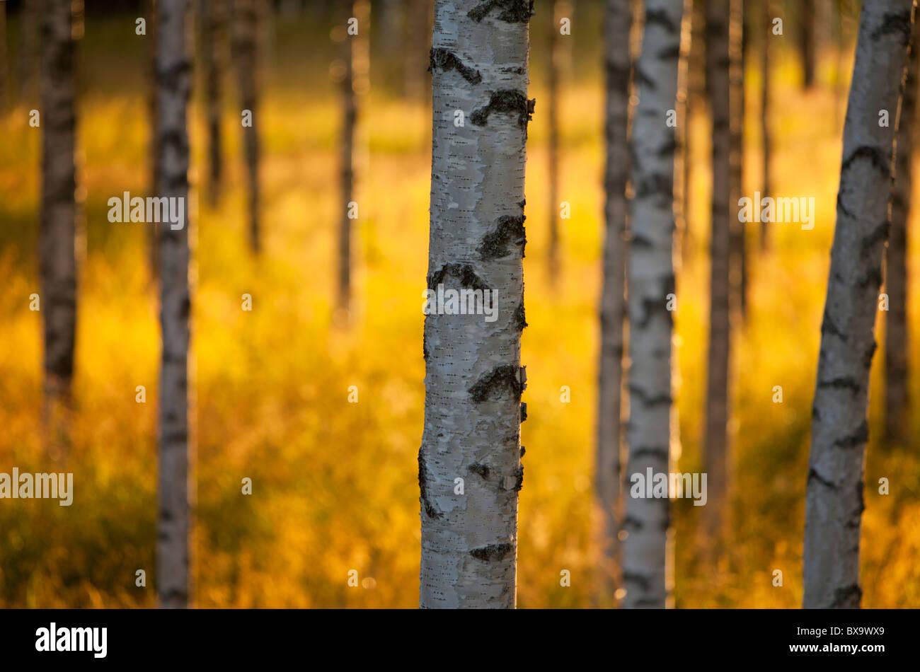 Vue de groupe de jeunes arbres de bouleau betula ( ) au soleil du soir Photo Stock