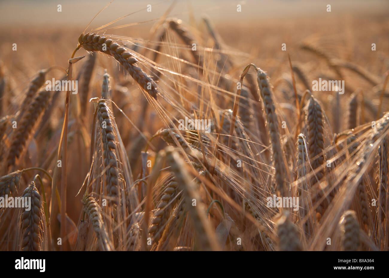 Oreilles de maturation de l'orge dans le Wiltshire, Angleterre. Photo Stock