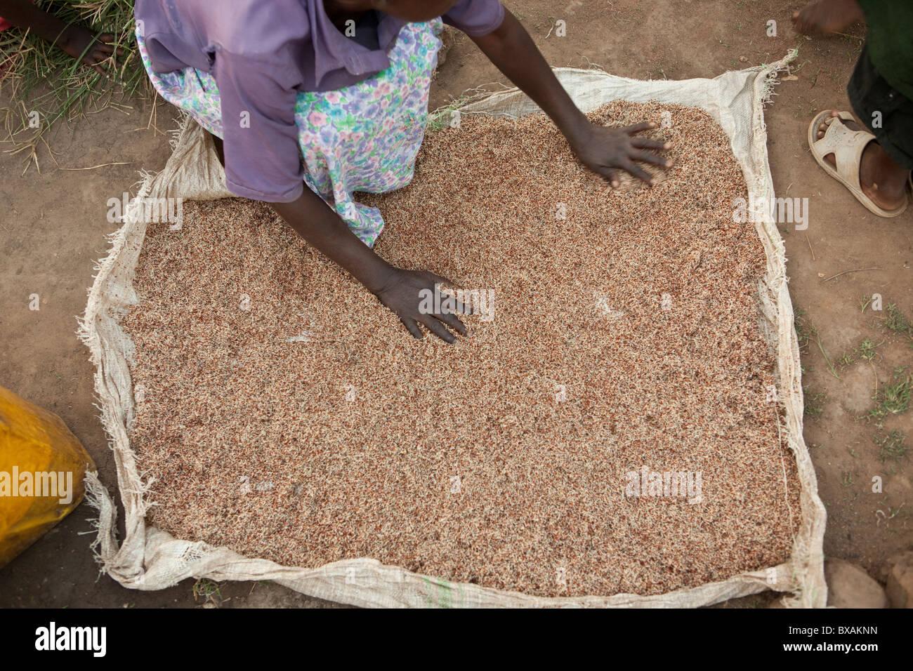 Une femme sortes millet pour être utilisé dans le brassage de la bière de banane à Mbale, est Photo Stock