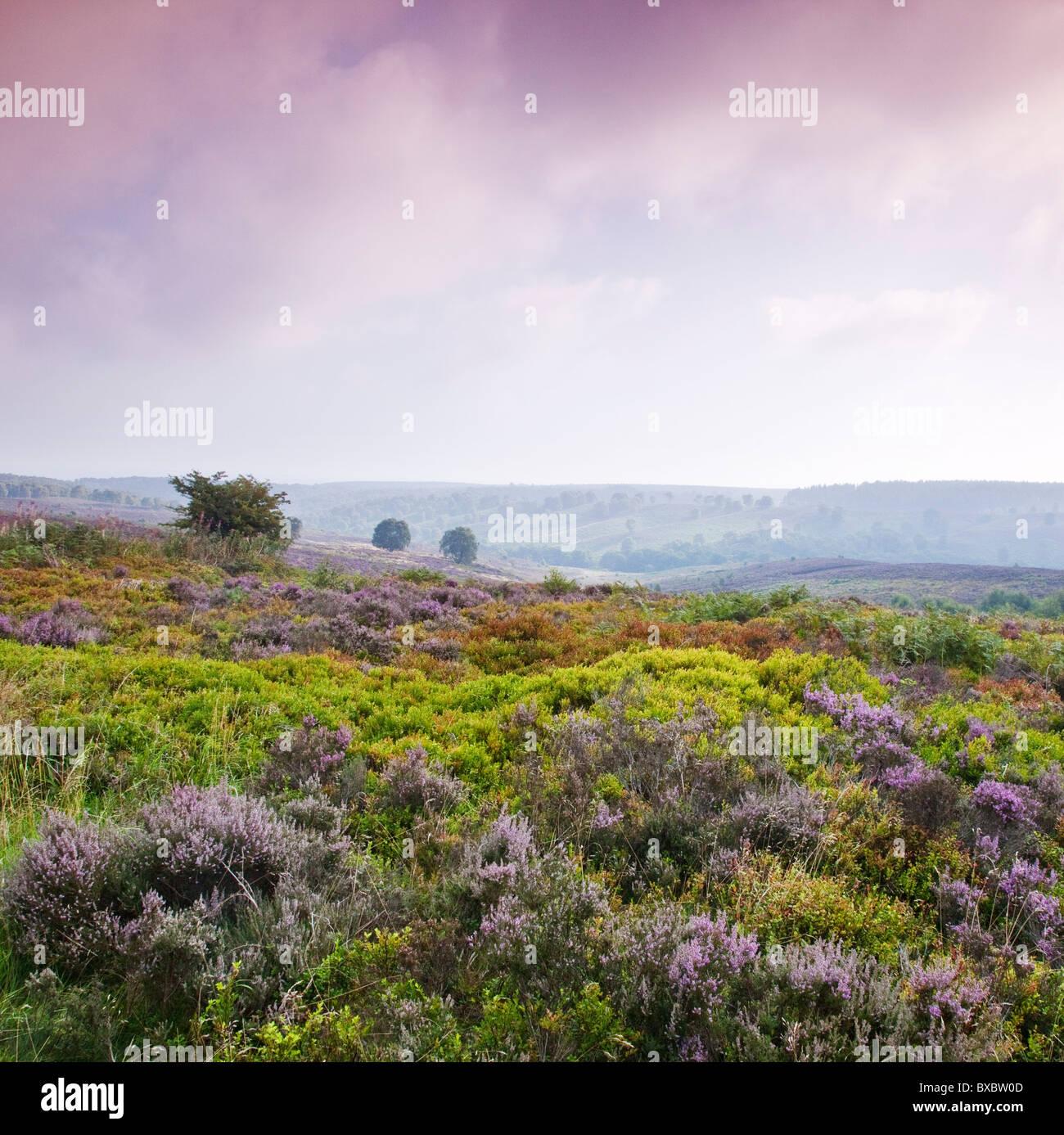 Heather Bilbury de gelée à la fin de l'été Cannock Chase Country Park AONB (région de beauté naturelle exceptionnelle) Banque D'Images