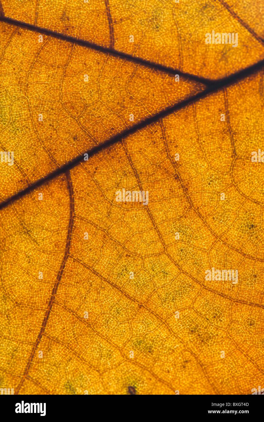 Plan Macro sur un automne feuille de platane Photo Stock