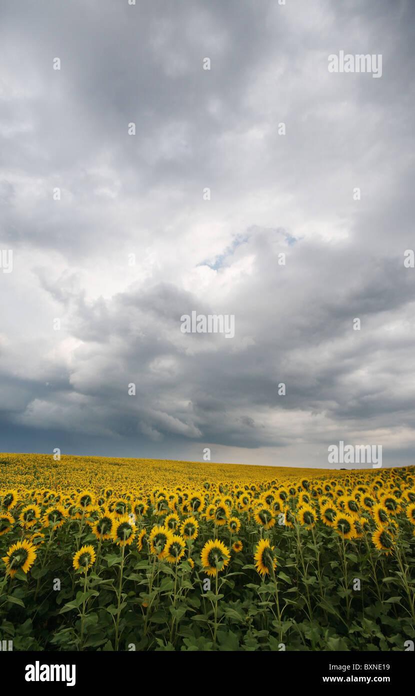 Champ de tournesol sous les nuages d'été orageux Photo Stock