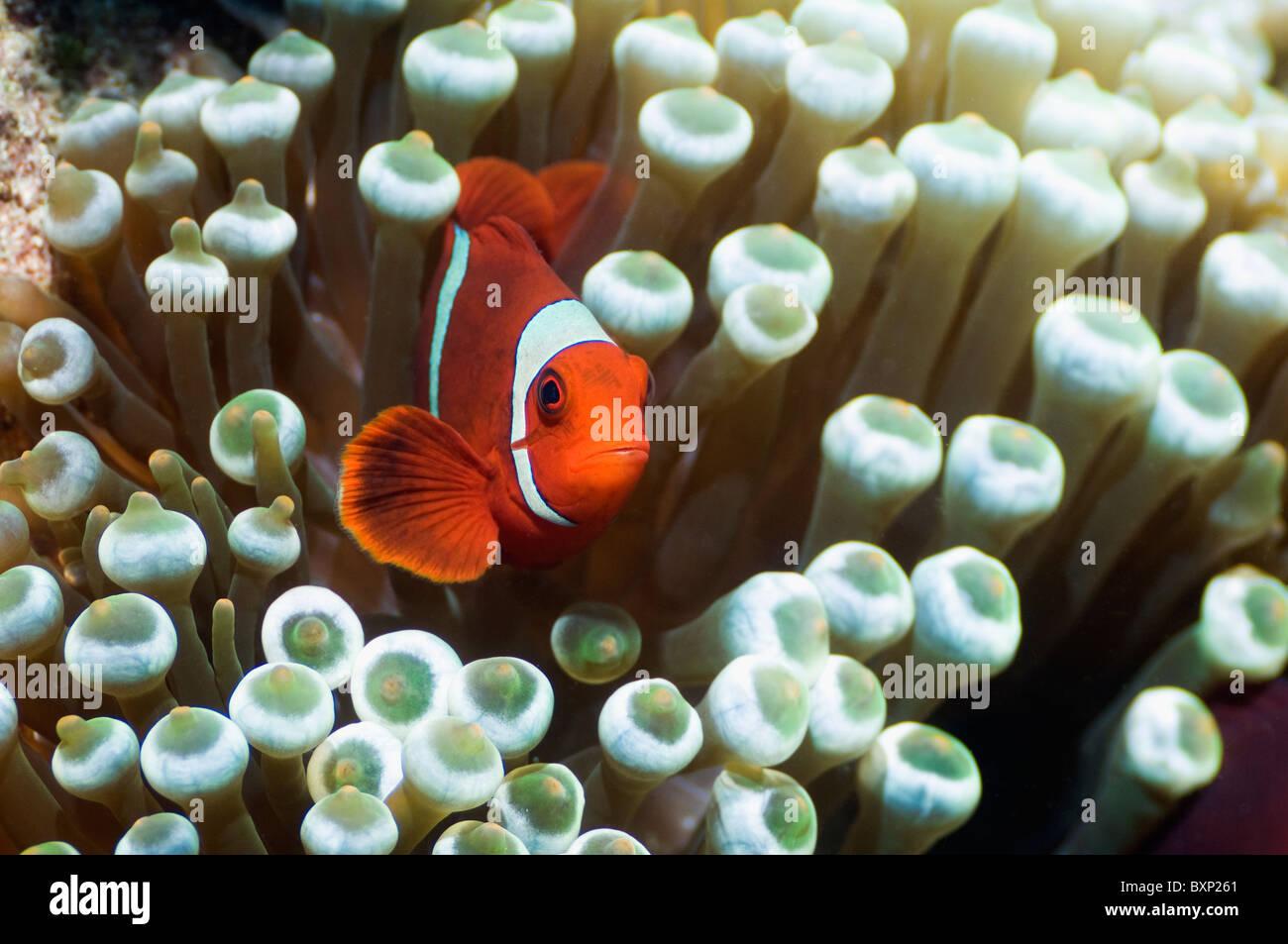 Spinecheek premnas biaculeatus poisson clown for Achat poisson clown