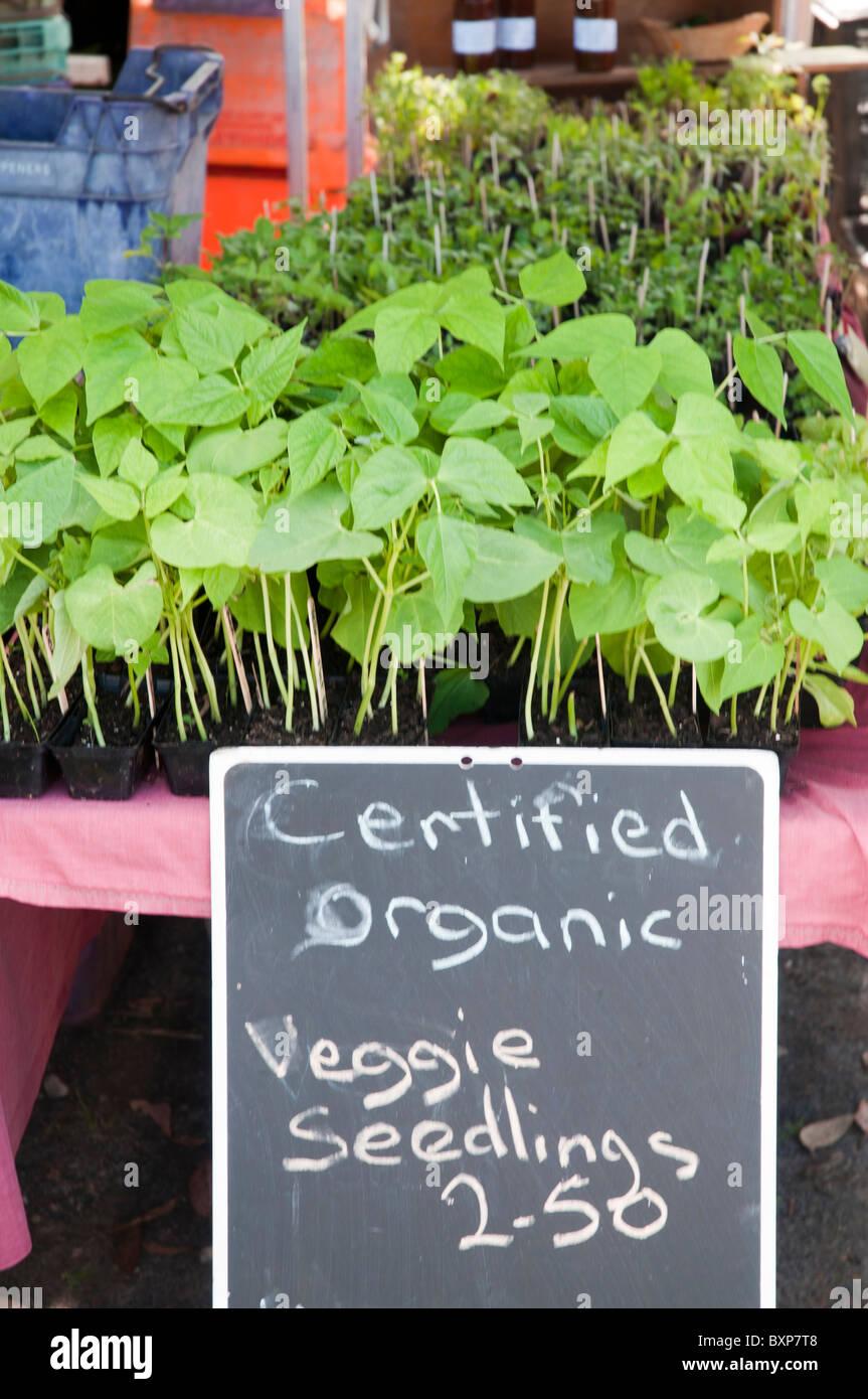 Les semis de haricots cultivés biologiquement à un marché de producteurs Photo Stock