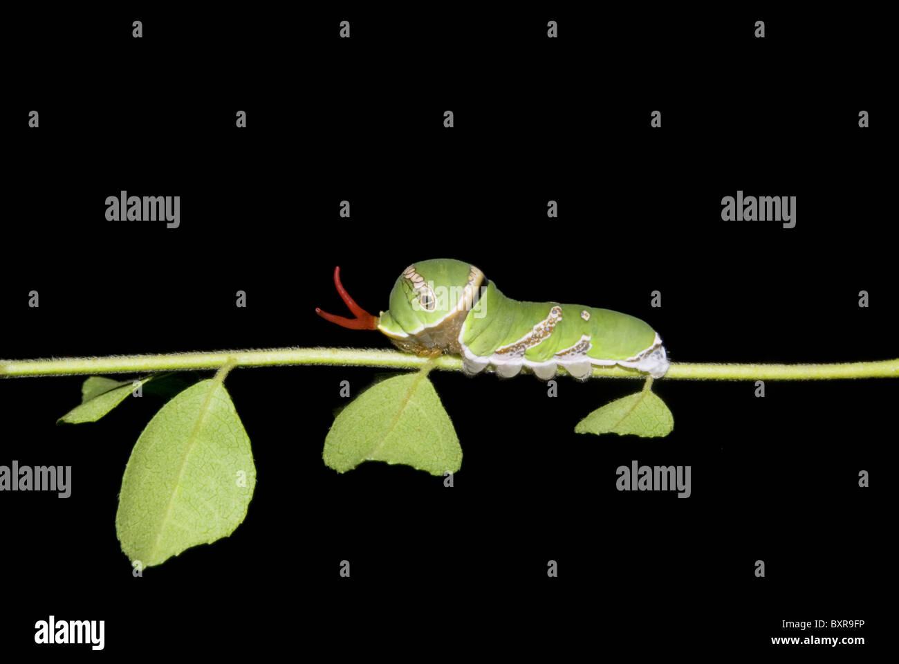 Commune de Caterpillar mormon trouvés sur des feuilles de cari , Pune Papilionidae: Machaons Photo Stock