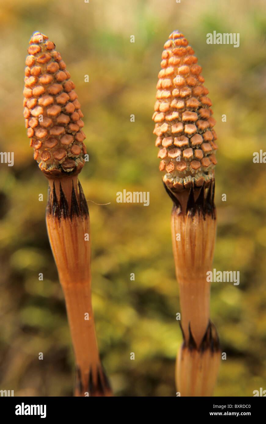 La prêle des champs prêle commune ou, - Equisetum arvense - Banque D'Images
