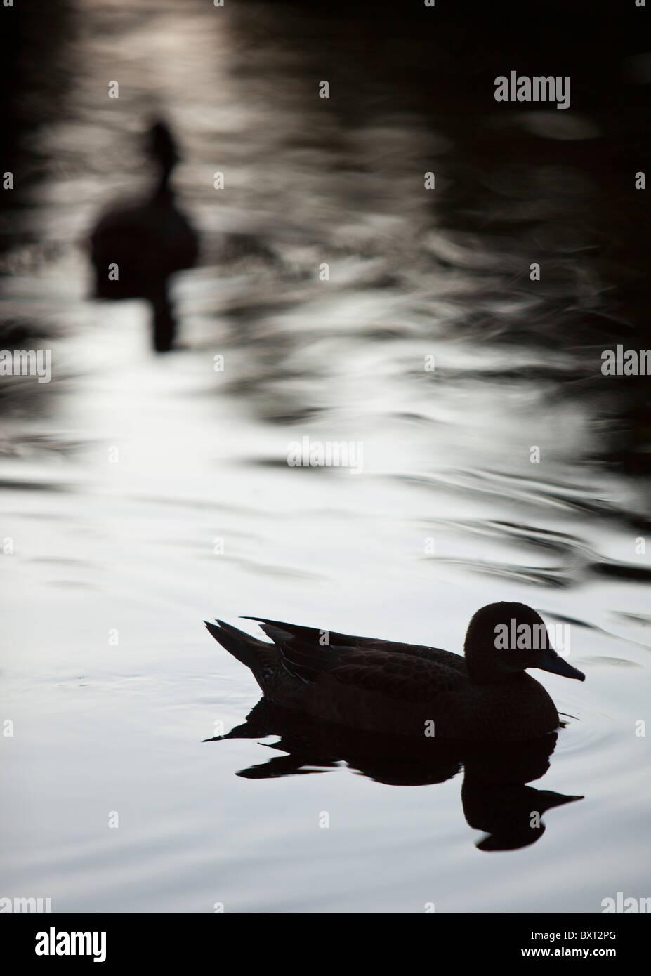 Silhouette d'un Canard siffleur (Anas penelope penelope Mareca ancien ) Photo Stock