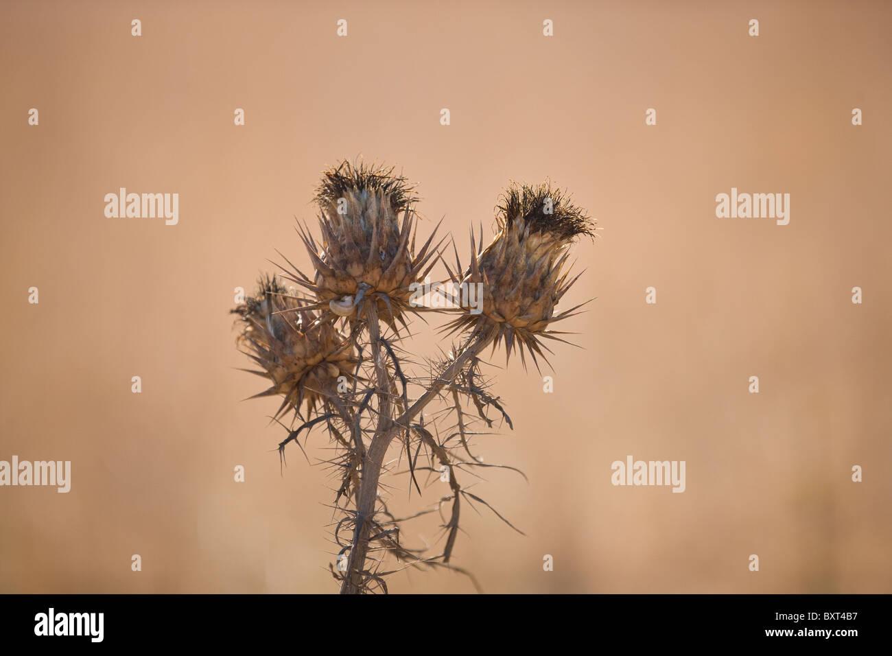 Fleurs De Chardon Seche Banque D Images Photo Stock 33721723 Alamy