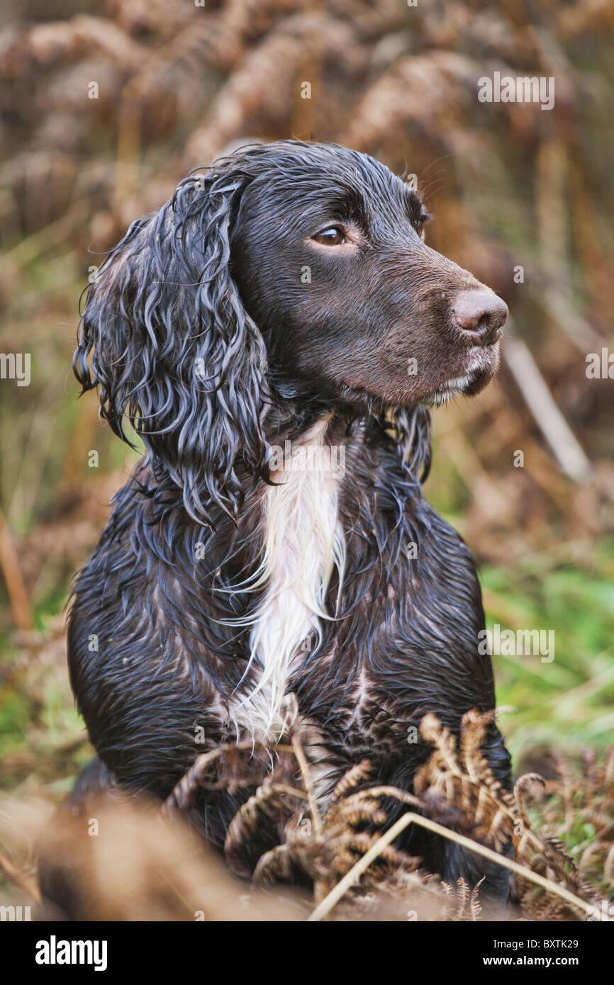Les chiens sont utilisés pour la recherche de faisans une fois tourné. Photo Stock