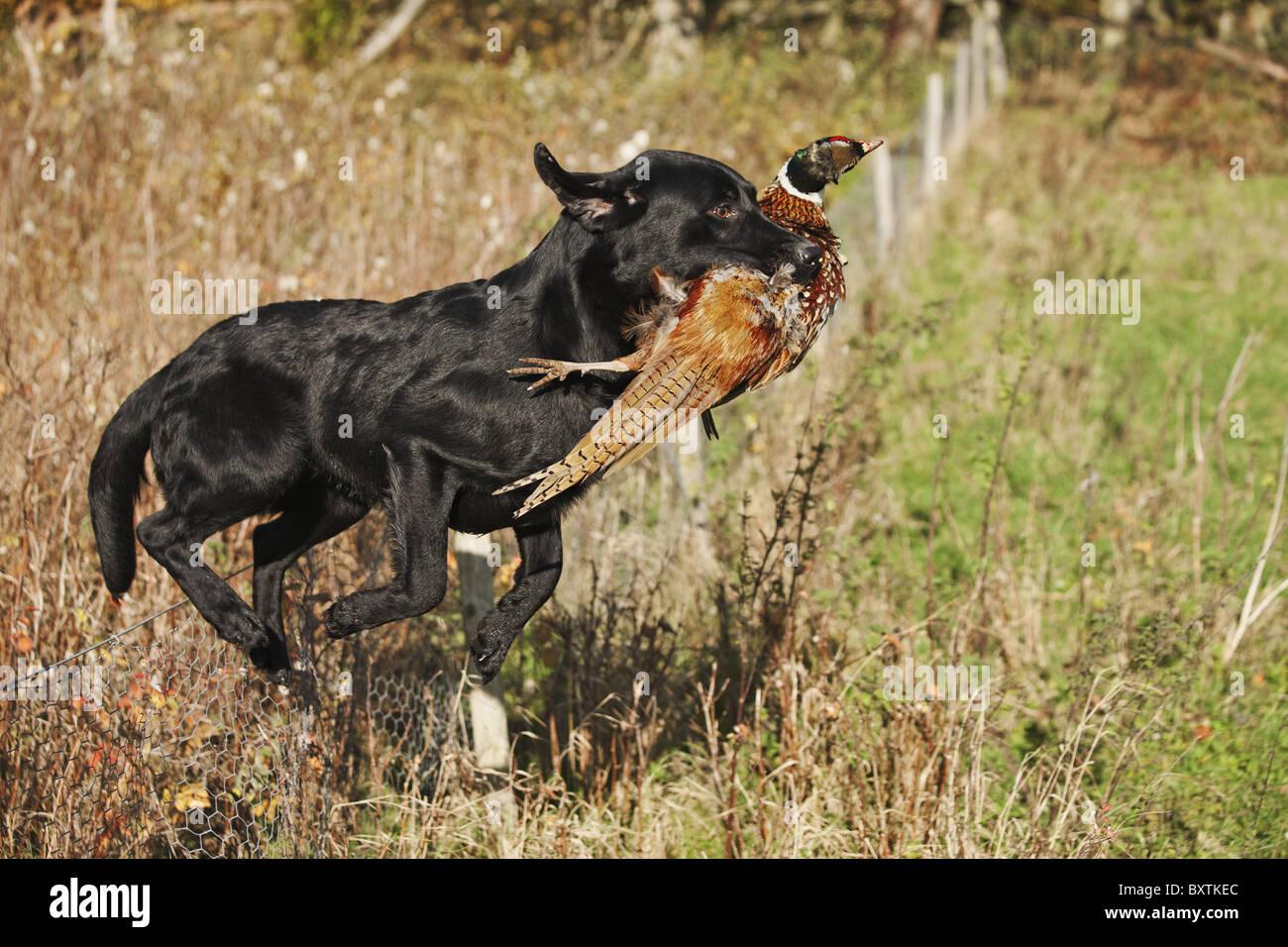 Labrador noir bien formés en cours d'exécution avec le faisan de chasse qui a été abattu Photo Stock