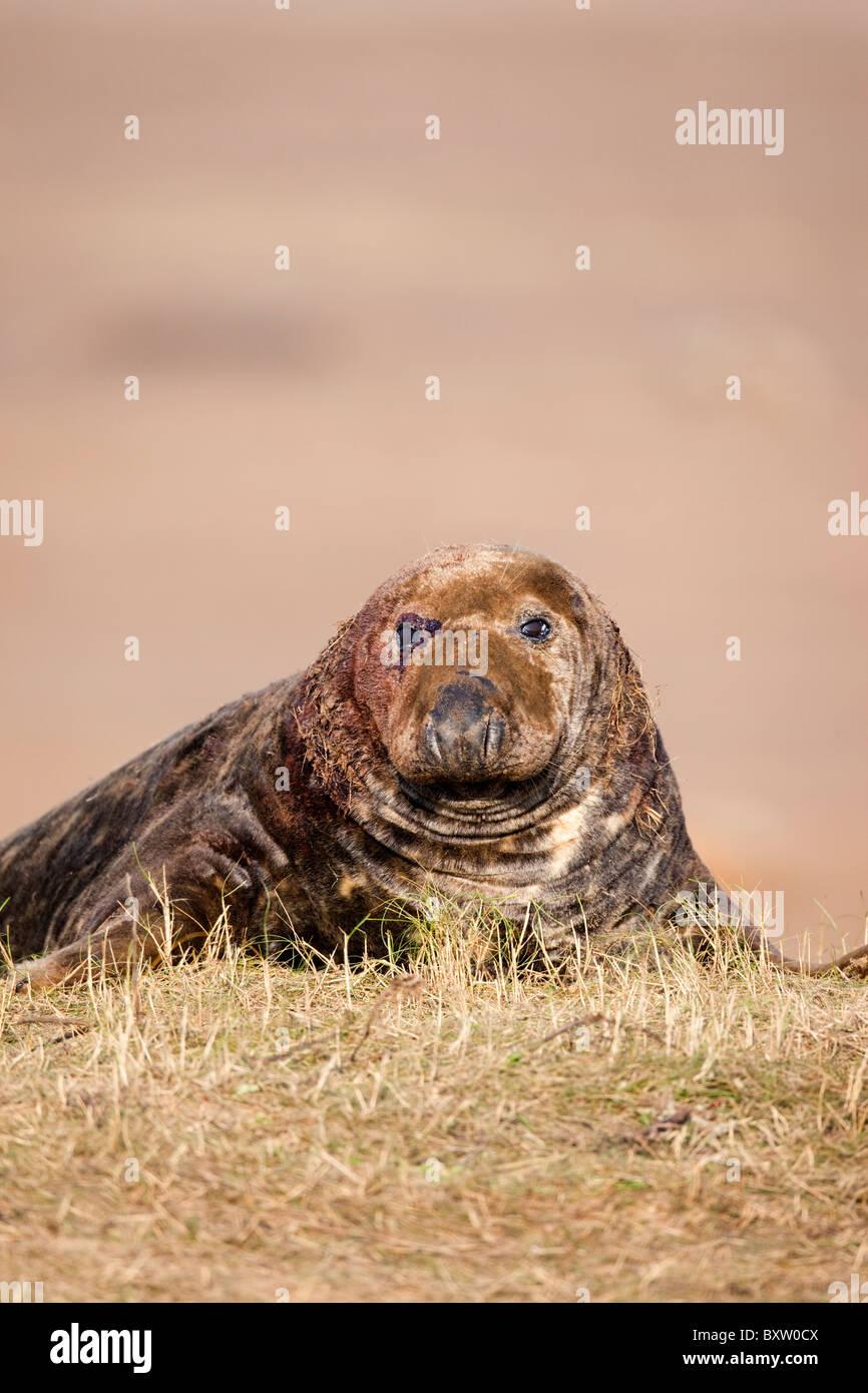 ; Phoque gris Halichoerus grypus, les blessures à la tête; Donna Nook; Lincolnshire Photo Stock