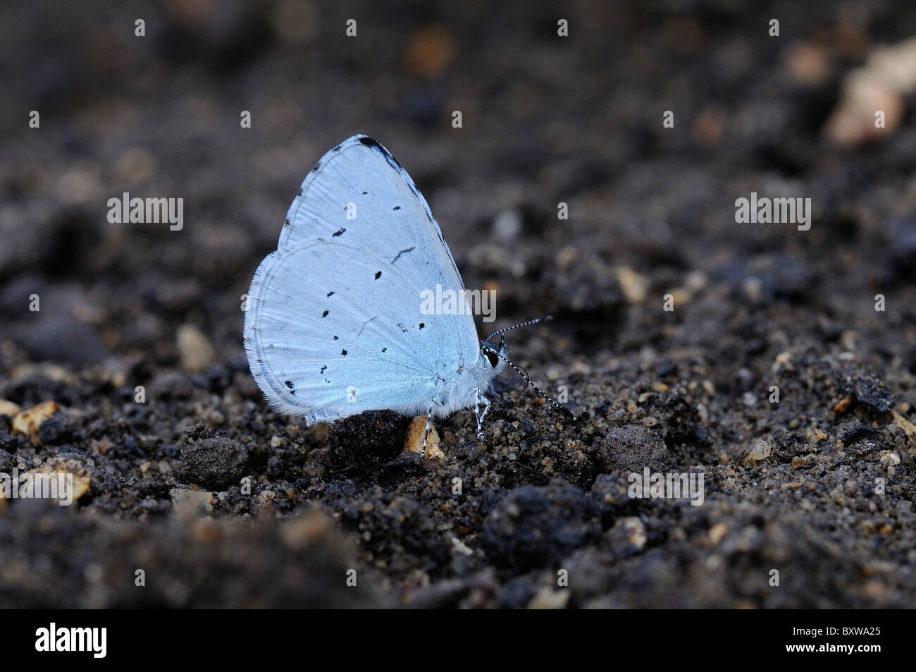 Holly Blue Butterfly (Calestrina argiolus) adulte sur le terrain qui se nourrissent de minéraux, Oxfordshire, Photo Stock