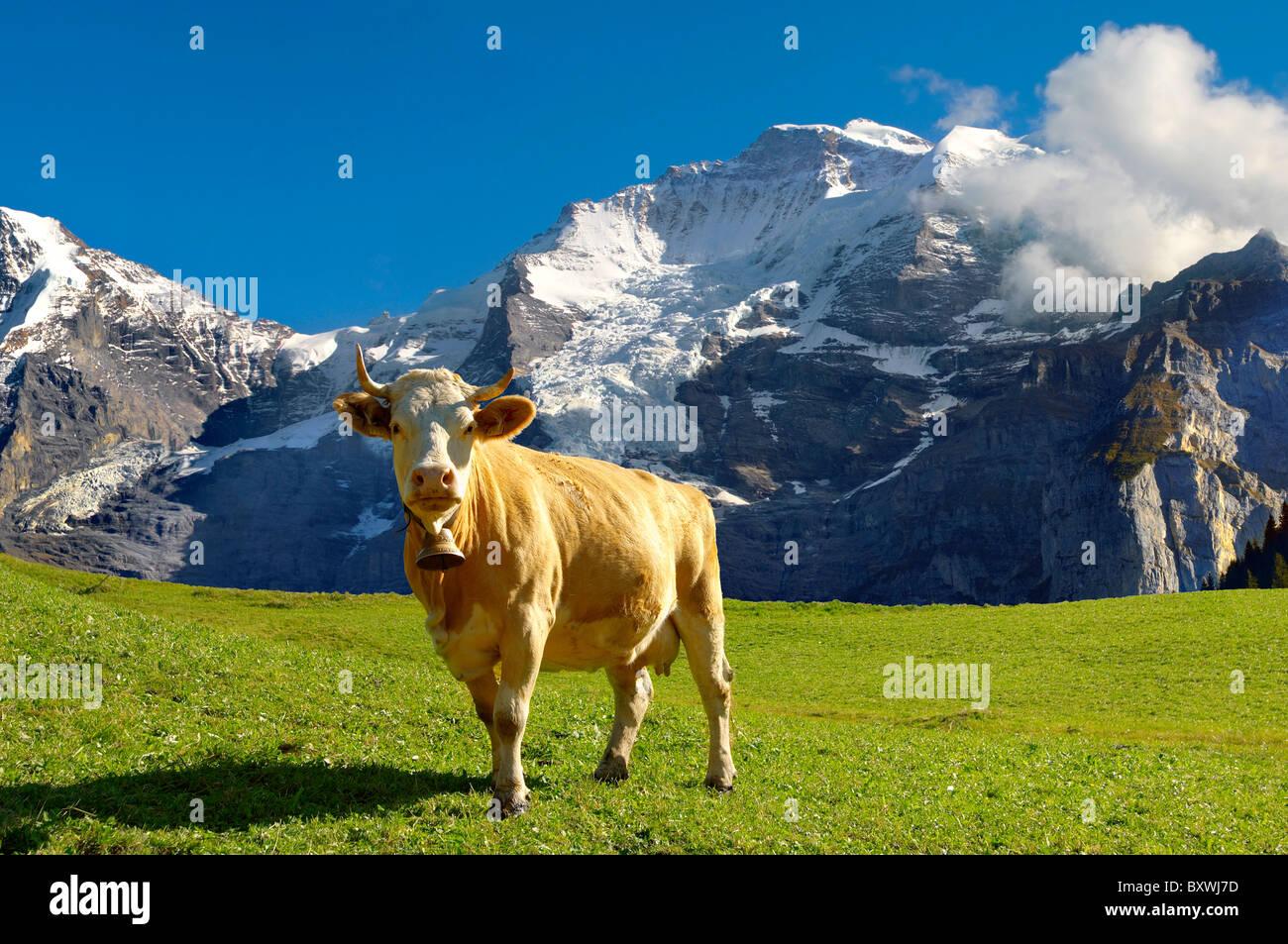 Vache avec Alpine Mountain - Alpes bernoises en Suisse Photo Stock
