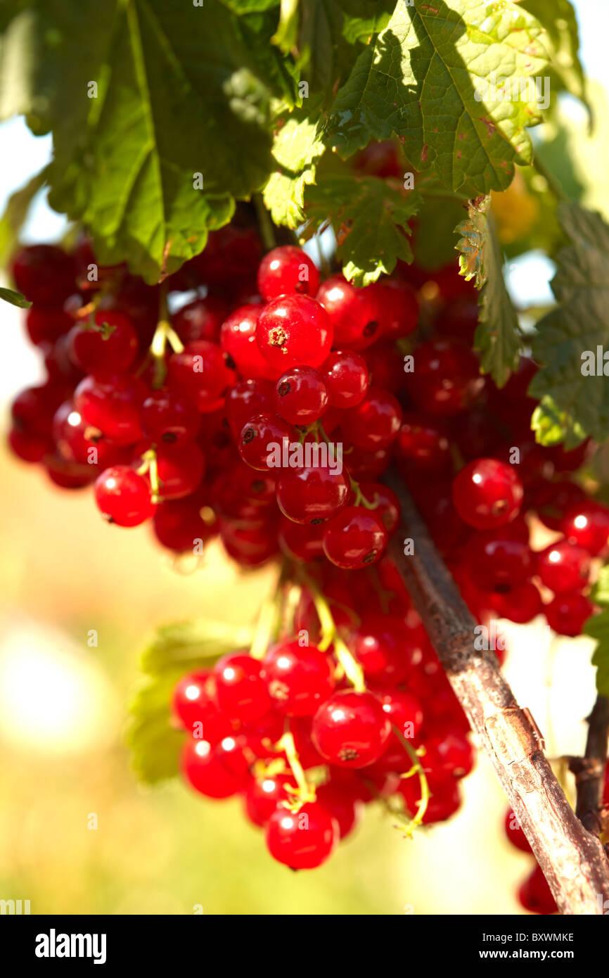 Groseilles fraîches sur une groseille bush Photo Stock