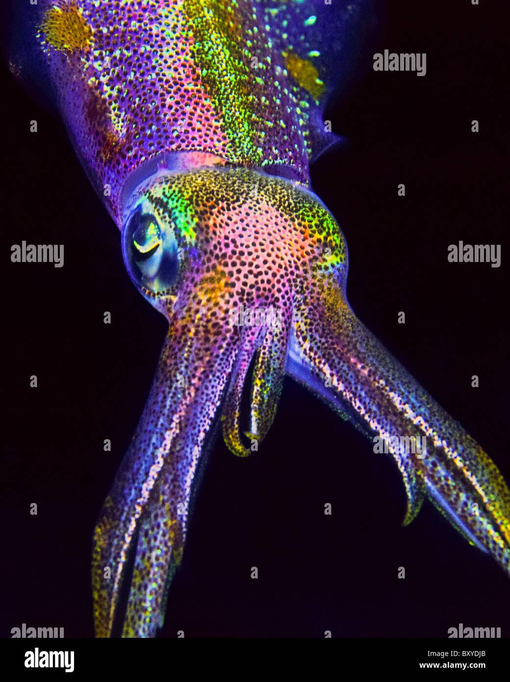 Le calmar de récif des Caraïbes, Sepioteuthis sepioidea, Key Largo, Florida, USA Photo Stock