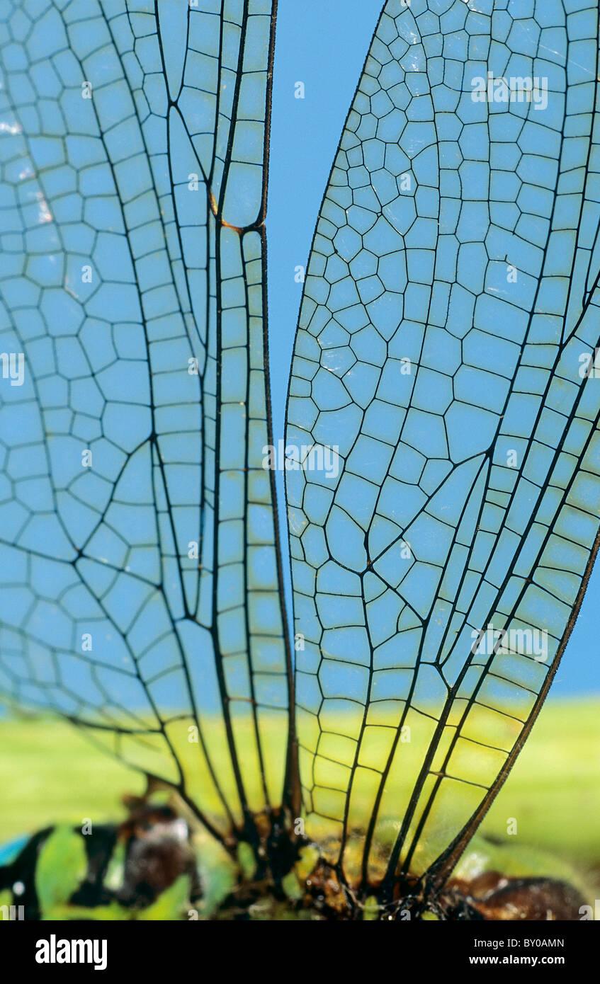 Les ailes d'une libellule Photo Stock