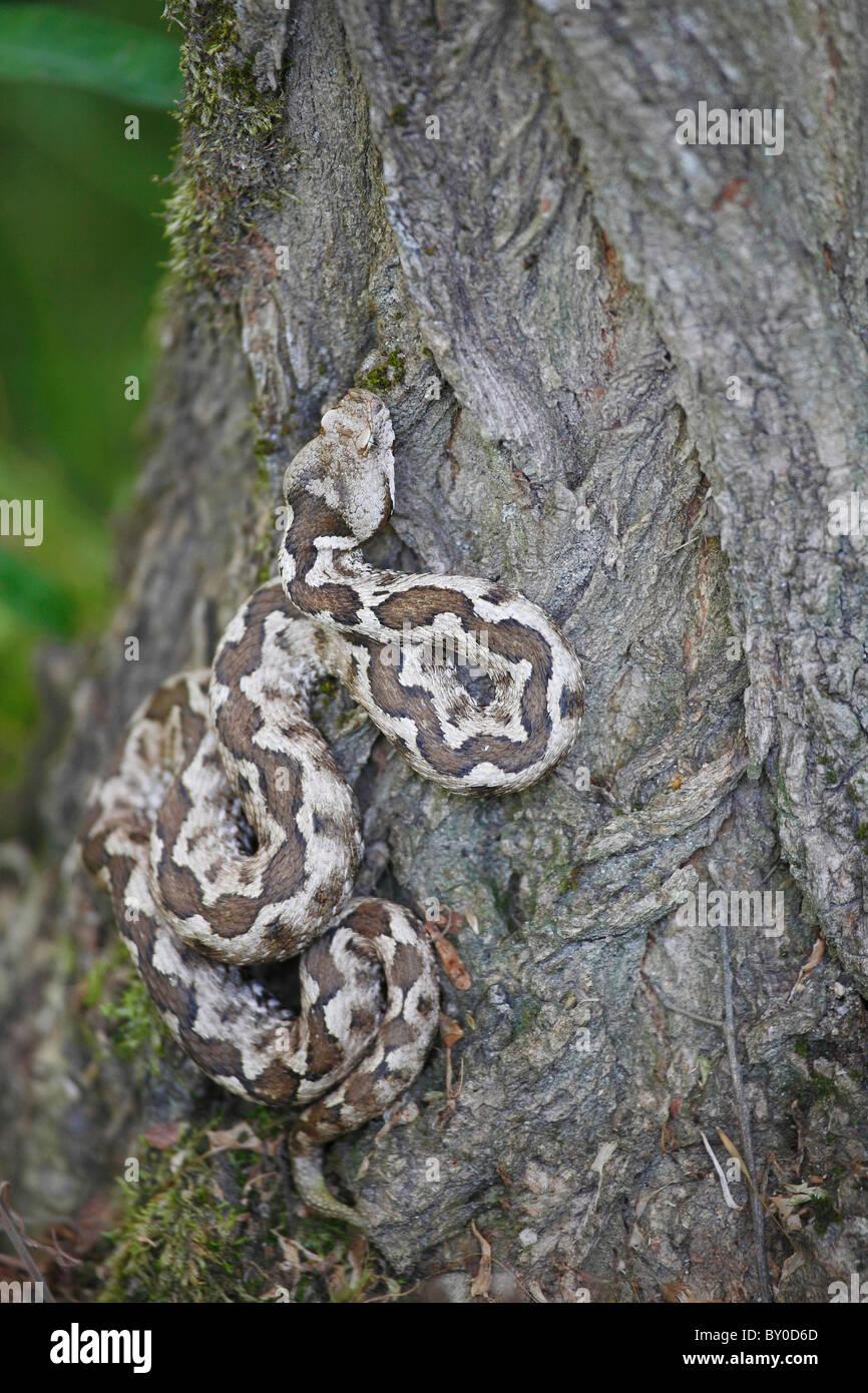 Vipère à cornes-nez à tree / Vipera ammodytes Banque D'Images