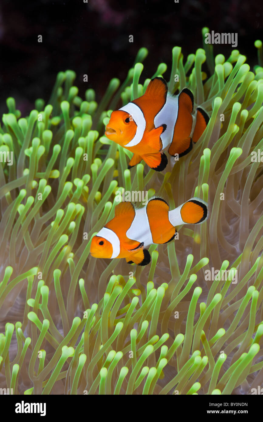 Amphiprion percula Clown, poisson clown, Alam Batu, Bali, Indonésie Photo Stock