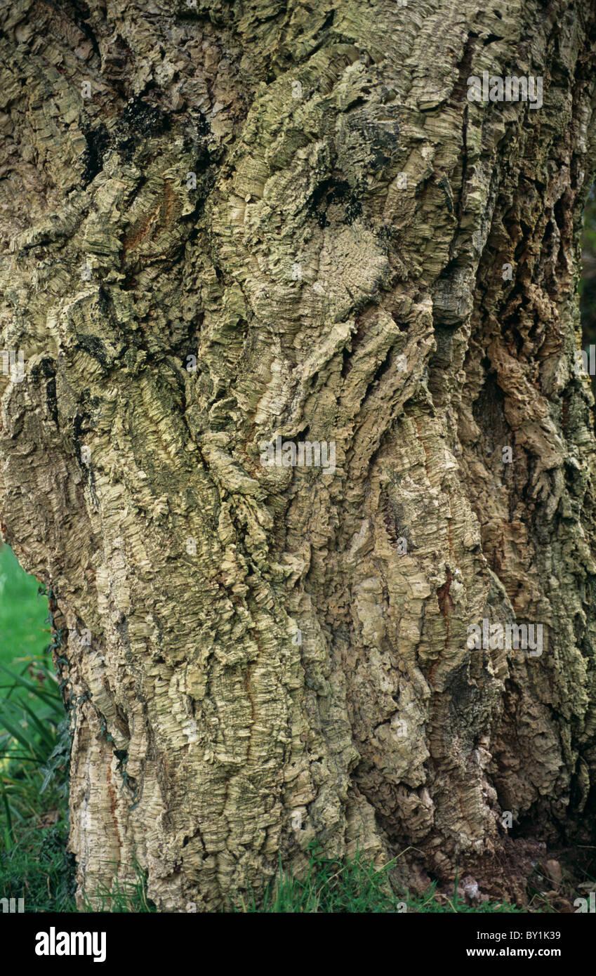 Chêne-liège (Quercus suber) et de l'écorce du tronc de l'arbre Photo Stock