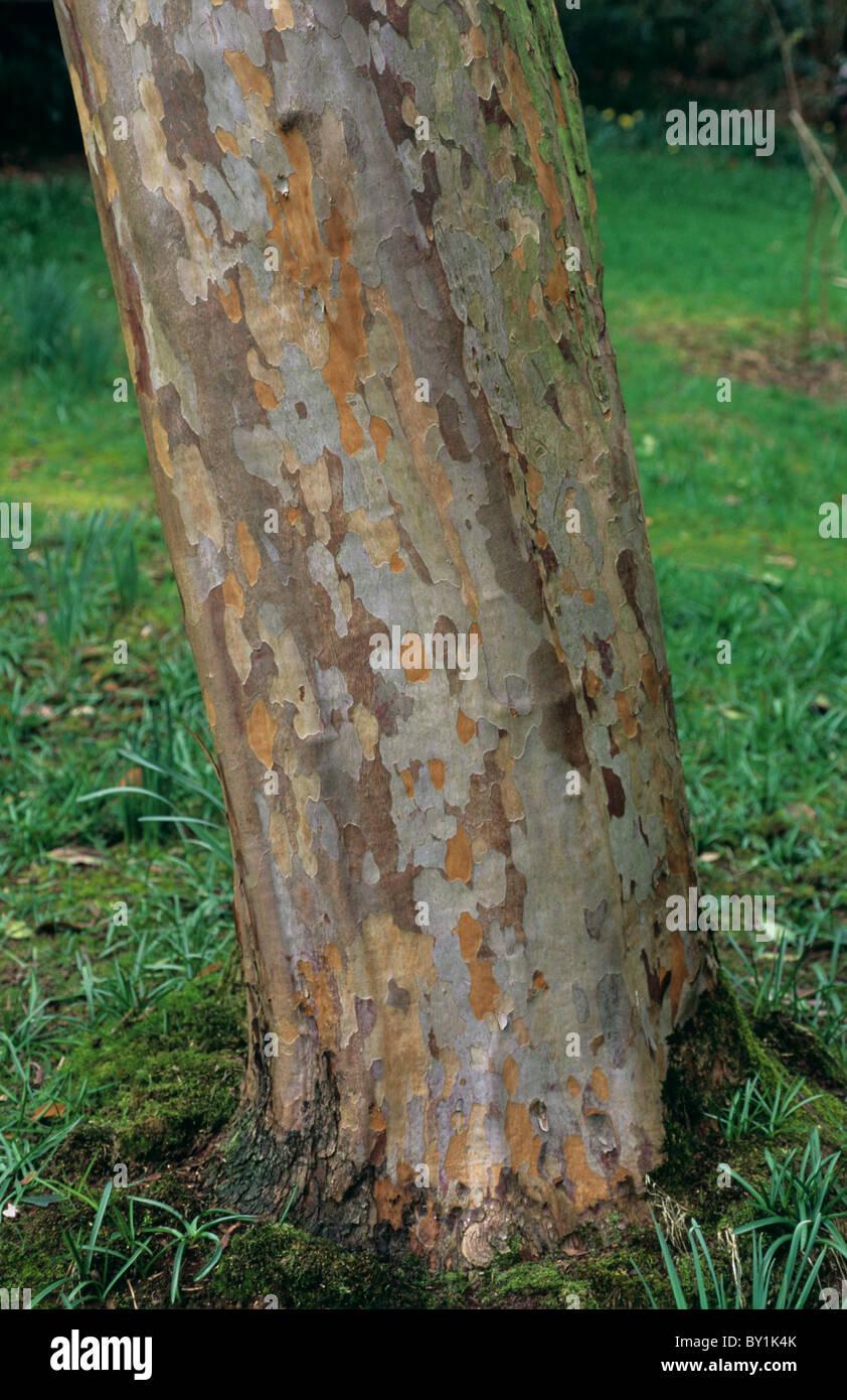 Arbres d'ornement Stewartia ovata écorce à motifs Photo Stock