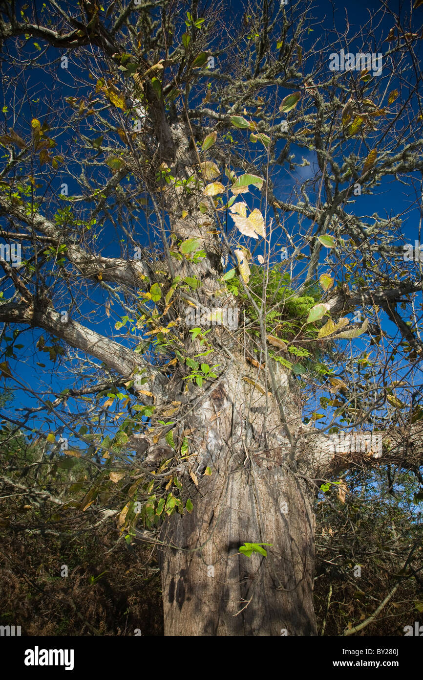 Old sweet chestnut tree against a blue sky Photo Stock