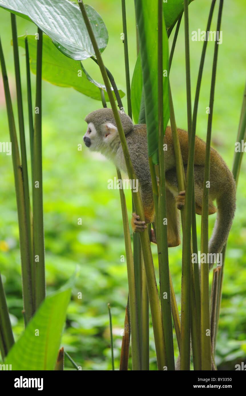 Singe écureuil en forêt amazonienne Photo Stock