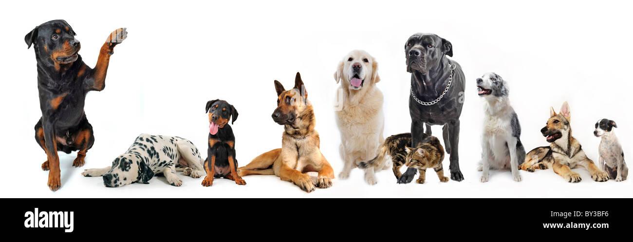 Cute Rottweiler Dire Bonjour Avec Sa Patte à Un Groupe De