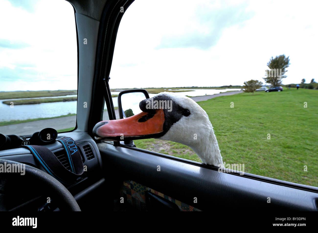 Très sympa Le Cygne tuberculé (Cygnus olor) se moque de la tête à la fenêtre de la voiture Photo Stock