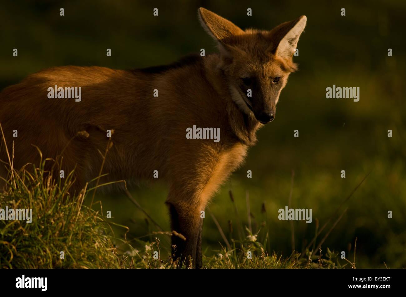 Le loup à crinière Chrysocyon brachyurus} {espèce en voie de disparition, l'Amérique du Sud Banque D'Images