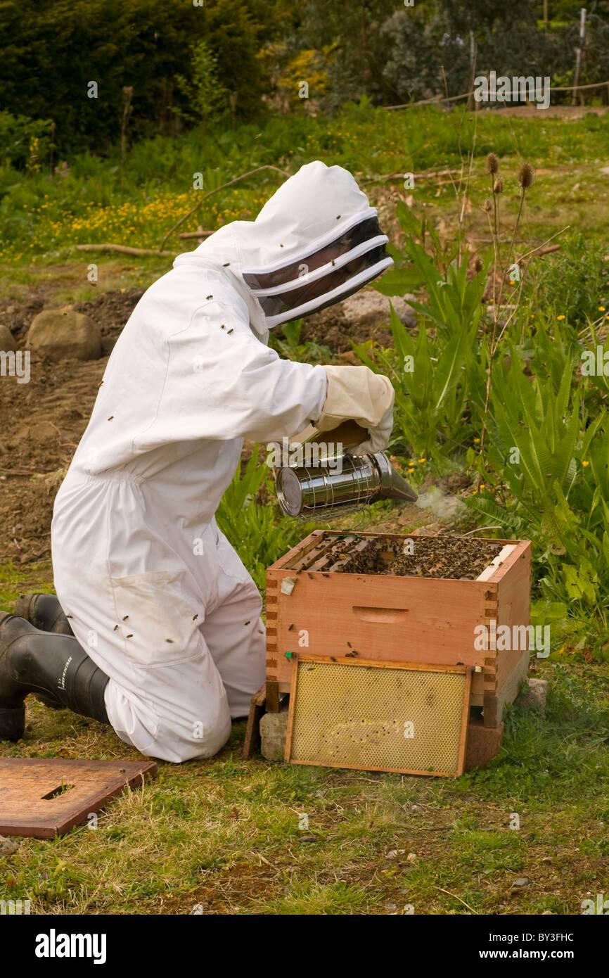 L'apiculteur les abeilles Apis mellifera (Modèle 1992) Photo Stock