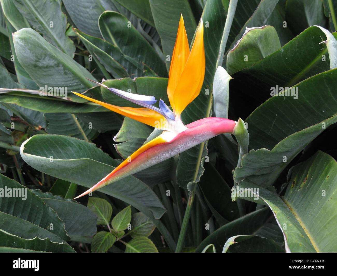 Oiseau De Paradis Fleur Strelitzia Tenerife Islas Canarias