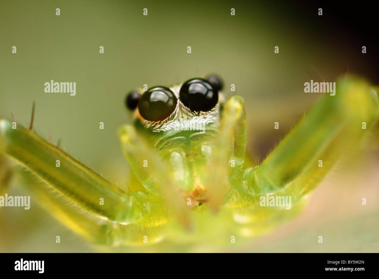 Photo est un pontage transparent vert araignée au moment de sauter. Photo Stock