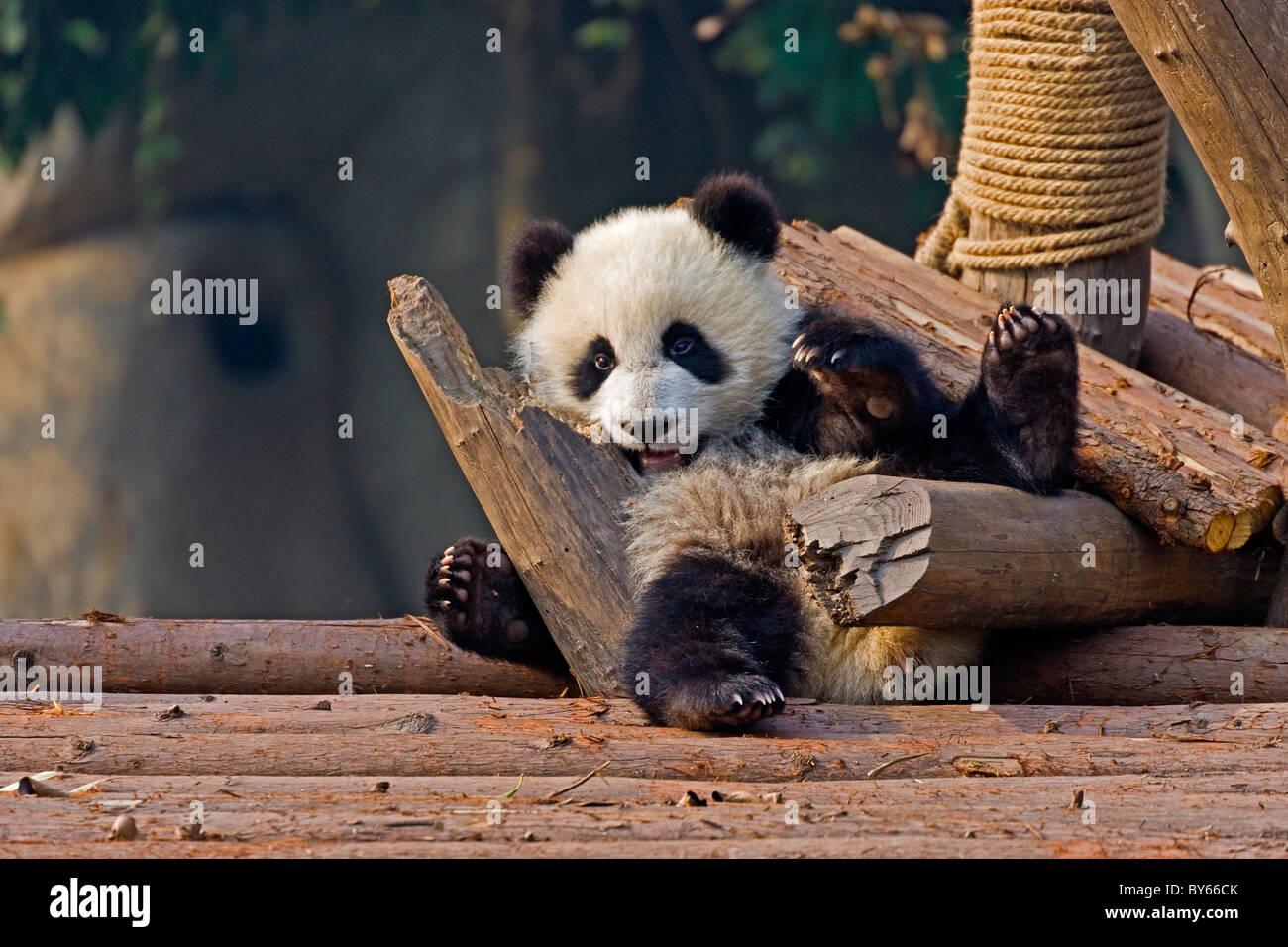 Les jeunes Grand Panda cub à Chengdu Research Base de reproduction du Panda Géant, en Chine. JMH4379 Photo Stock