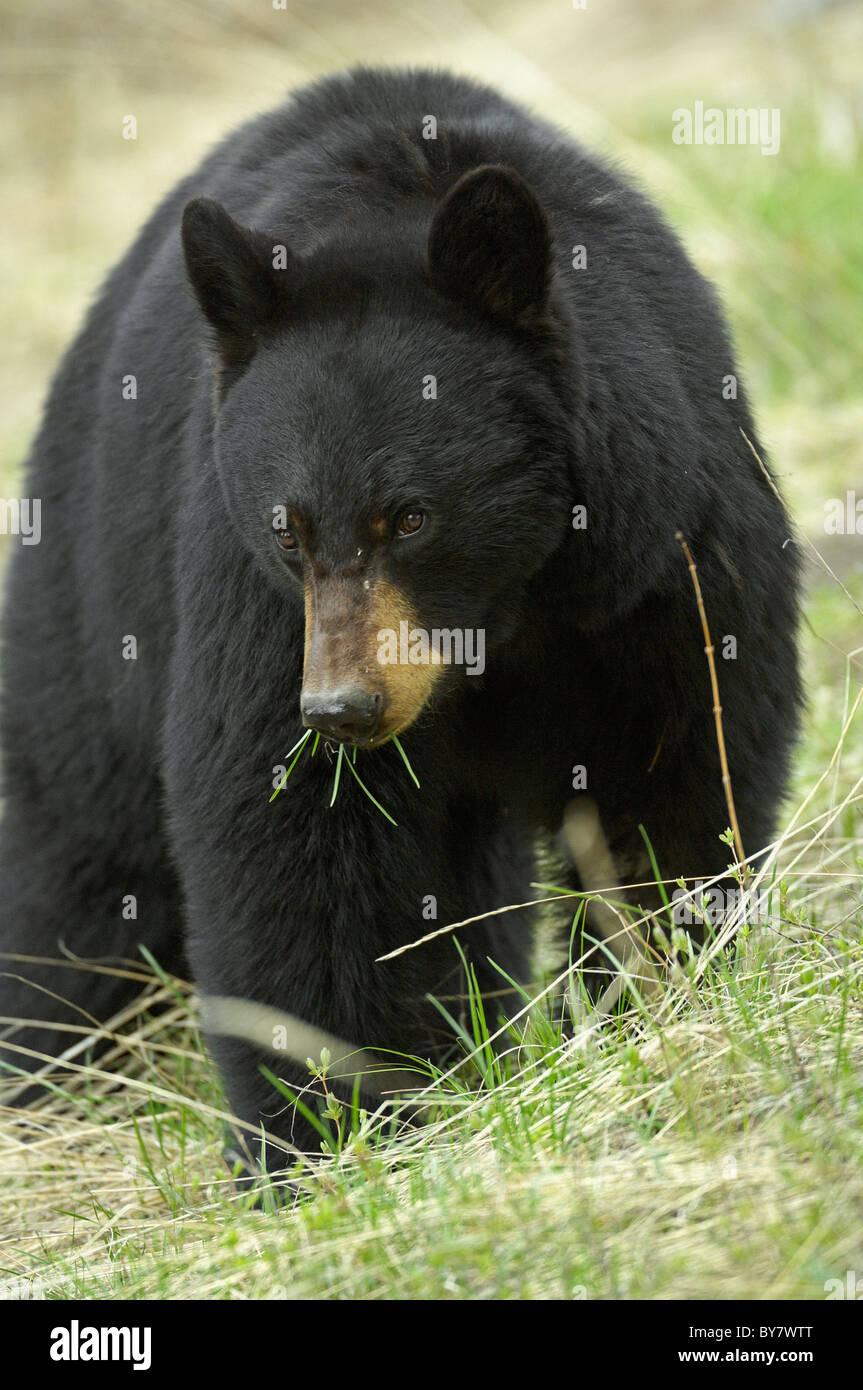 L'ours noir se nourrissant d'herbes dans le Parc National de Yellowstone. Photo Stock