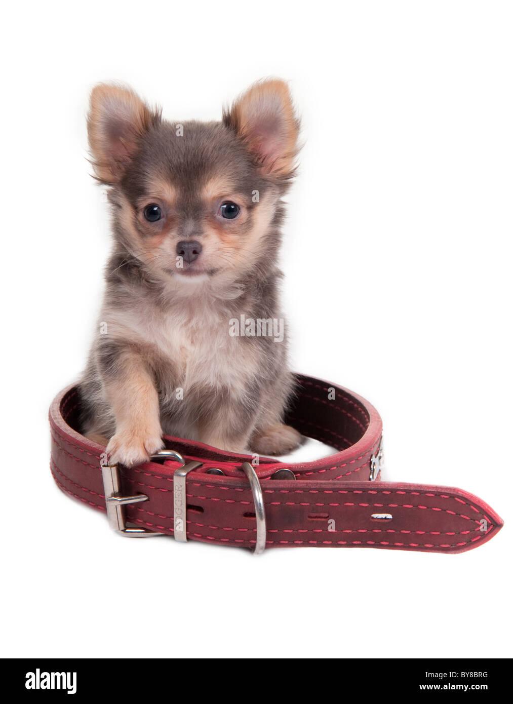 735b66b8003bf Chihuahua chiot est assis à l intérieur un grand col rouge Photo Stock