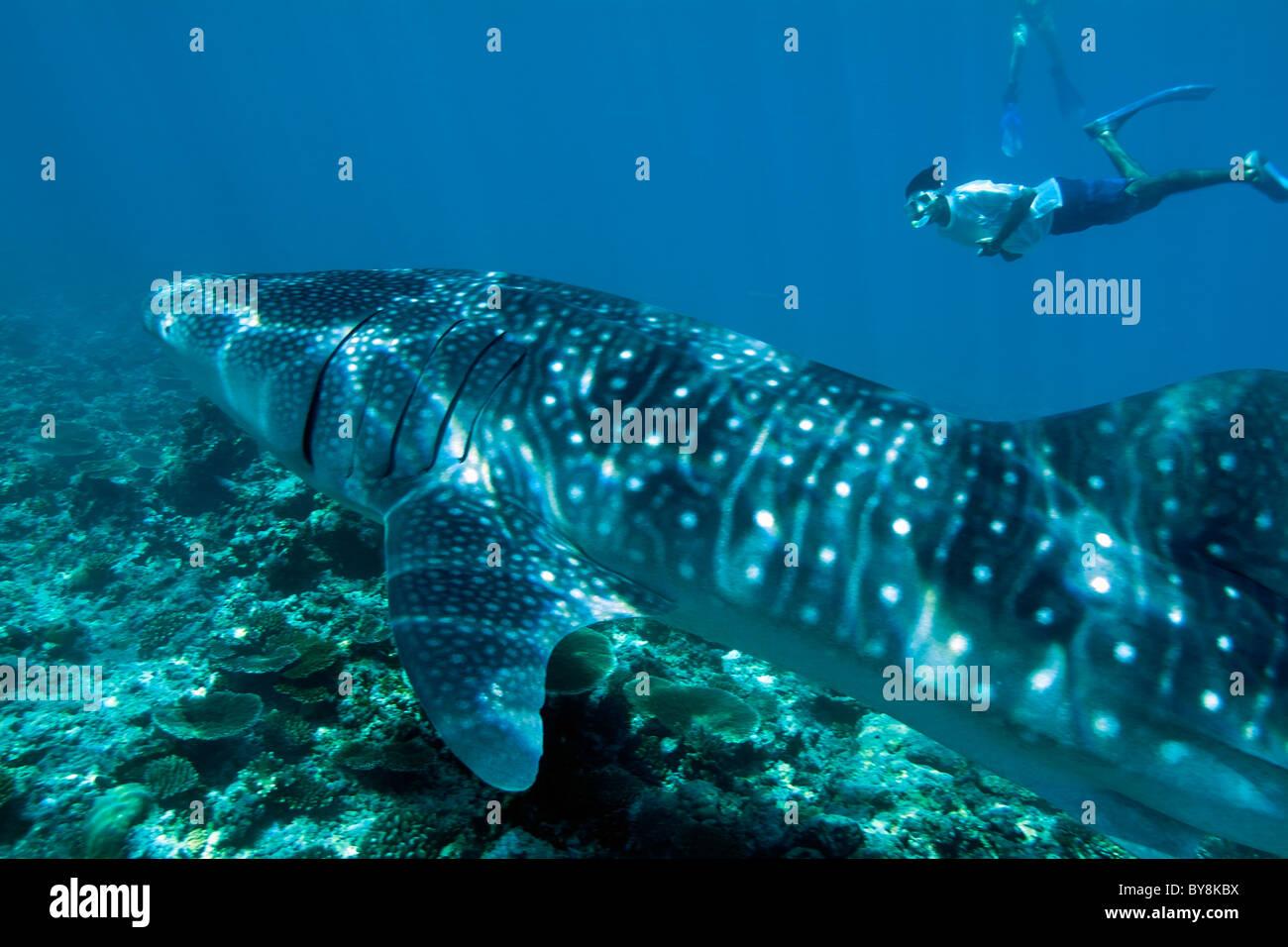 Plongeur et requin-baleine (Rhincodon typus), Ari Atoll, Maldives. Photo Stock