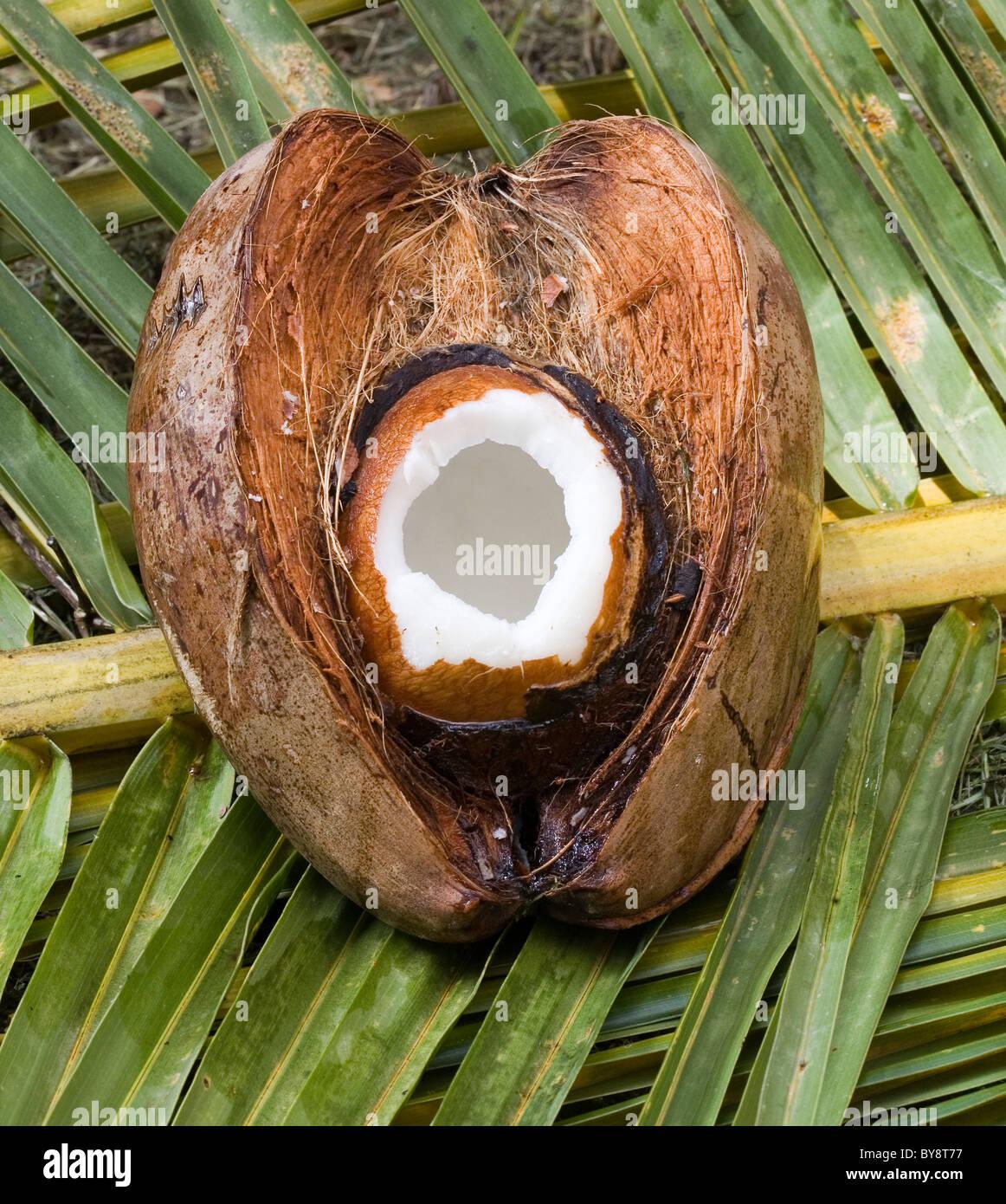 Couper Noix De Coco couper la noix de coco fraîche banque d'images, photo stock