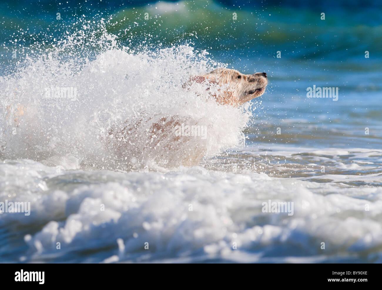 Chien qui court dans la mer Photo Stock