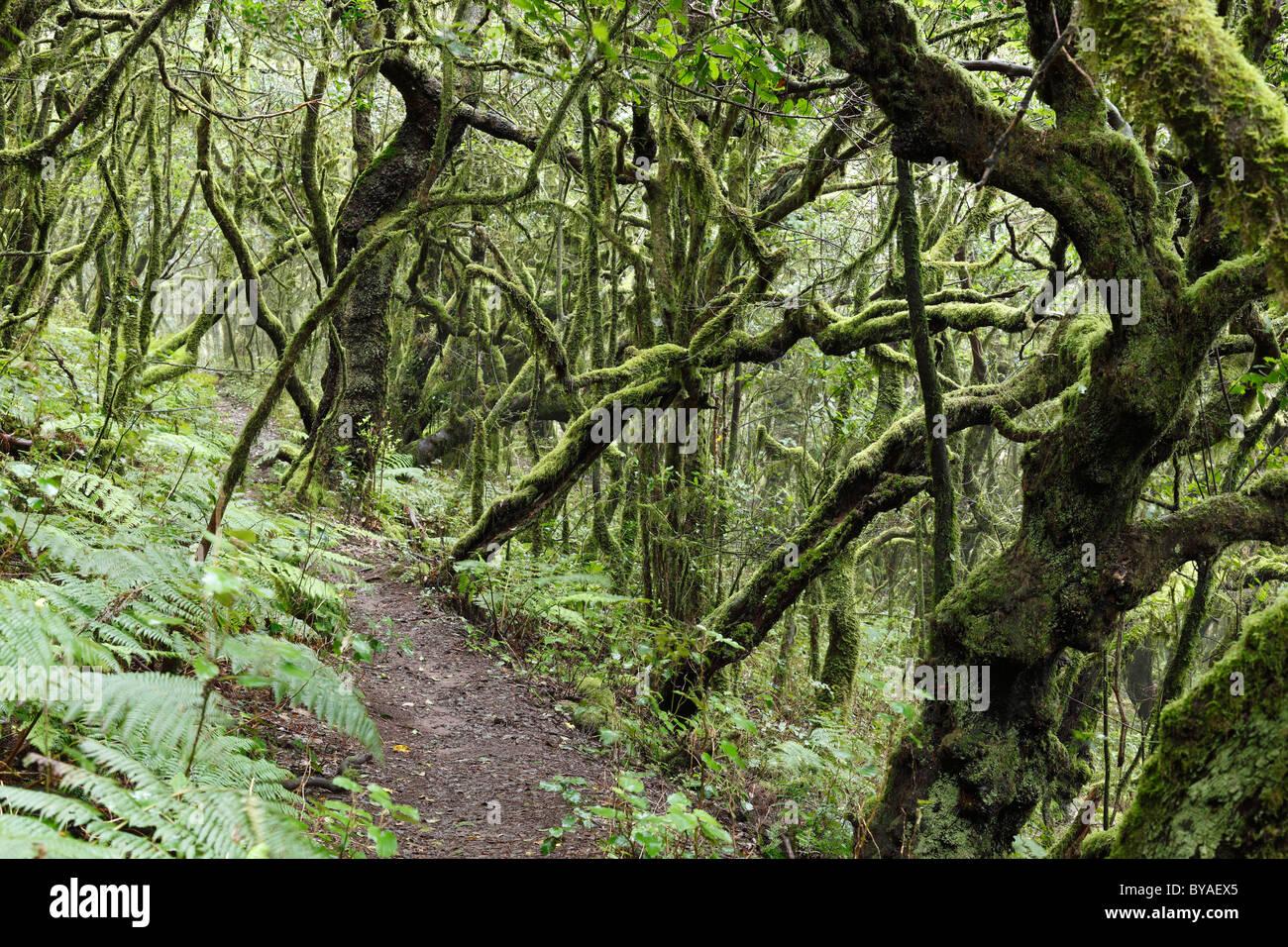 Sentier forestier dans une forêt d'arbres laurel, Parc National de Garajonay, île de La Gomera, Canary Islands, Spain, Europe Banque D'Images