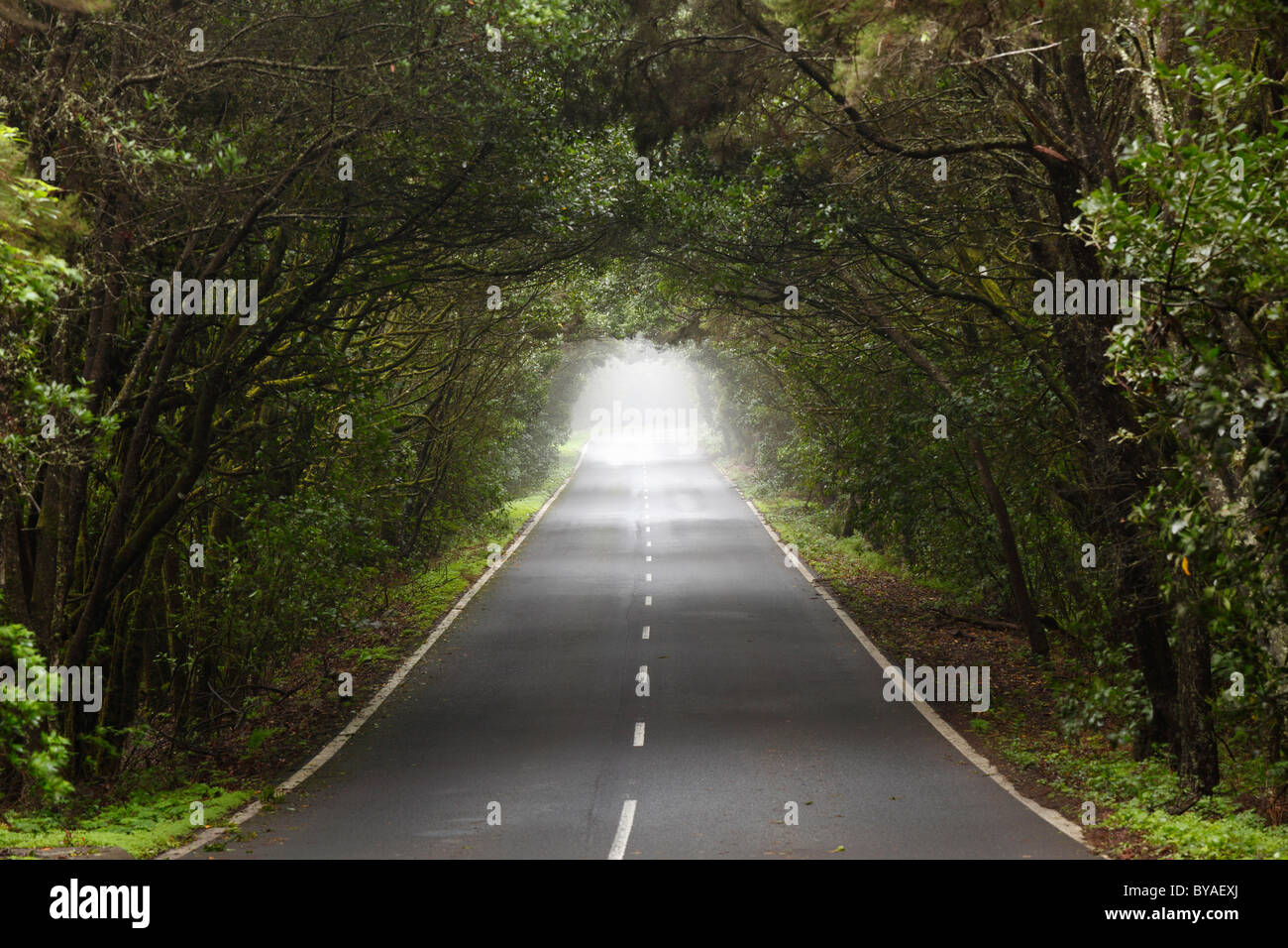 Route à travers une forêt d'arbres laurel, Parc National de Garajonay, île de La Gomera, Canary Islands, Spain, Europe Banque D'Images