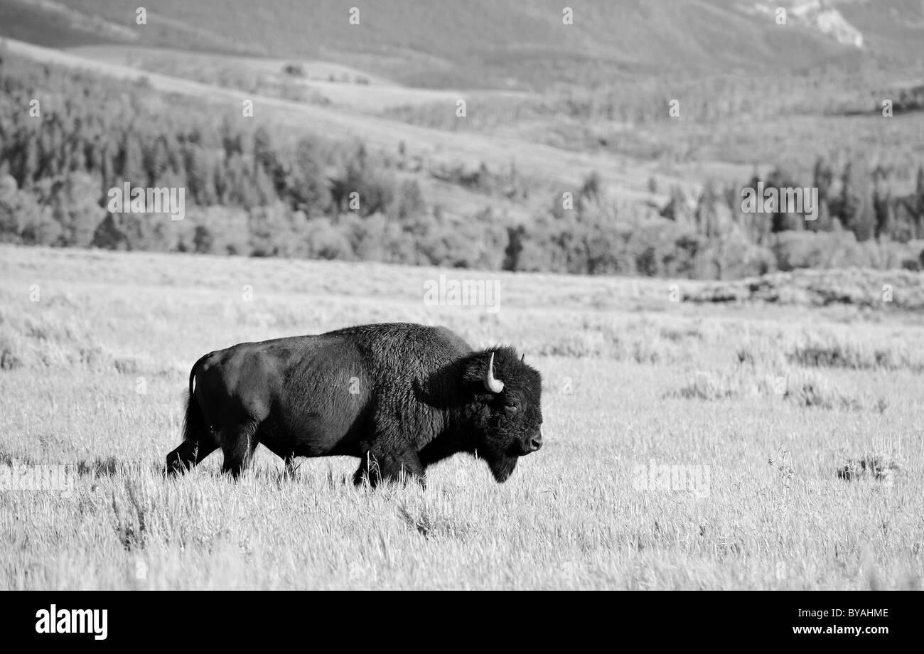 Noir et blanc, le Bison d'Amérique (Bison bison) Bull, Buffalo, Parc National de Grand Teton, Wyoming, United States of America, USA Banque D'Images