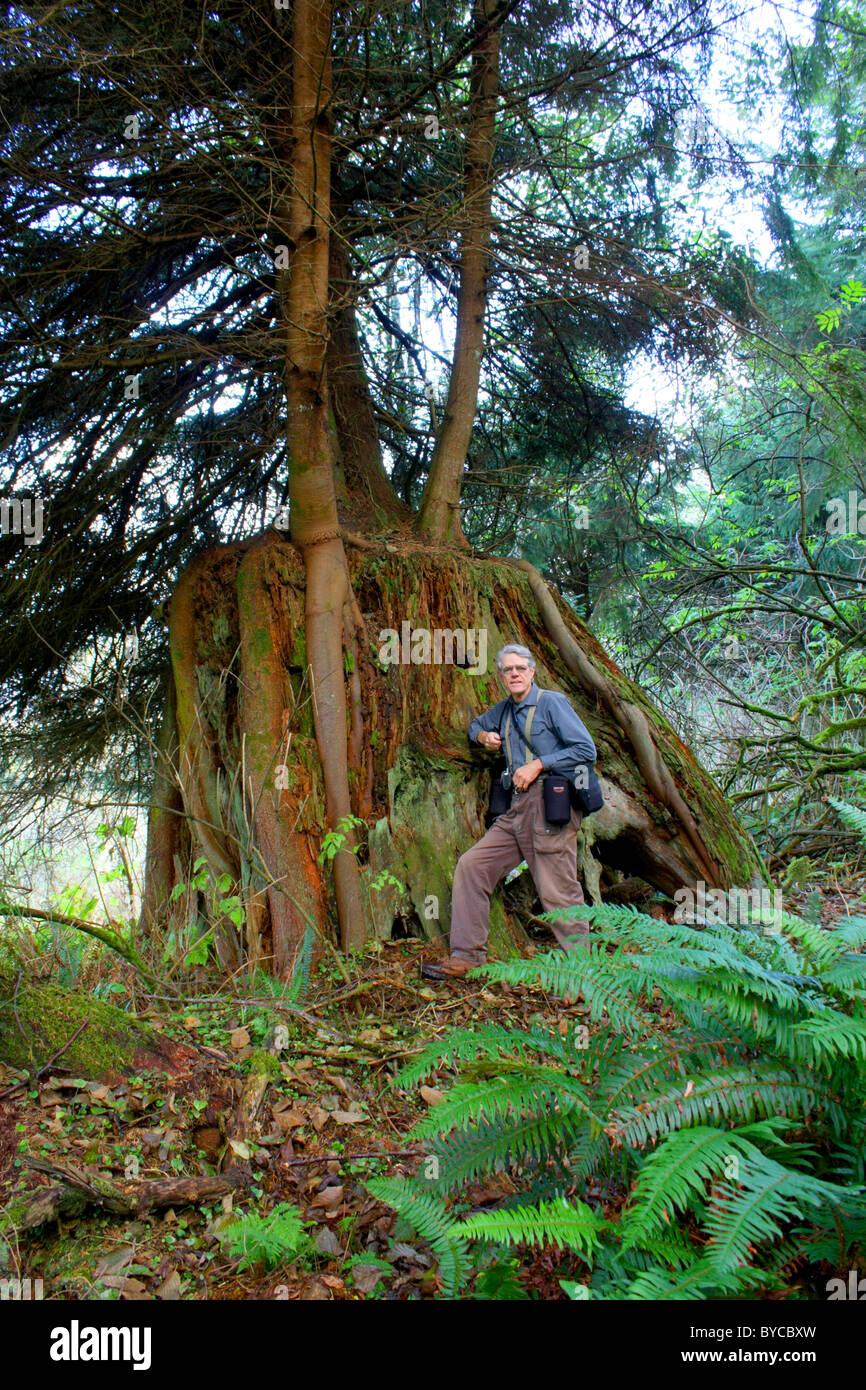 Un homme debout par un 7 m diamètre conifer stump, maintenant une infirmière 'log' pour trois Photo Stock