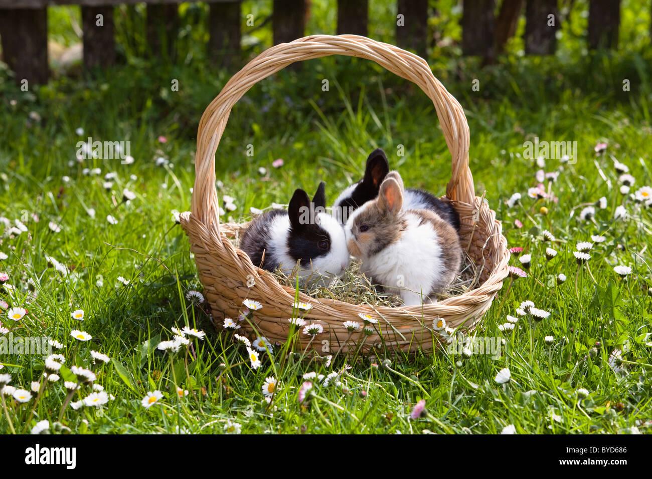 Les jeunes lapins (Oryctolagus cuniculus forma domestica) dans un panier de Pâques sur un pré fleuri Photo Stock