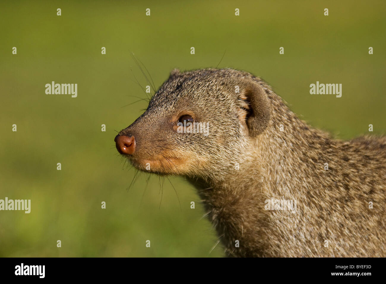 Mongoose bagués (Mungos mungo), portrait. Harnas Wildlife Foundation, la Namibie. Photo Stock