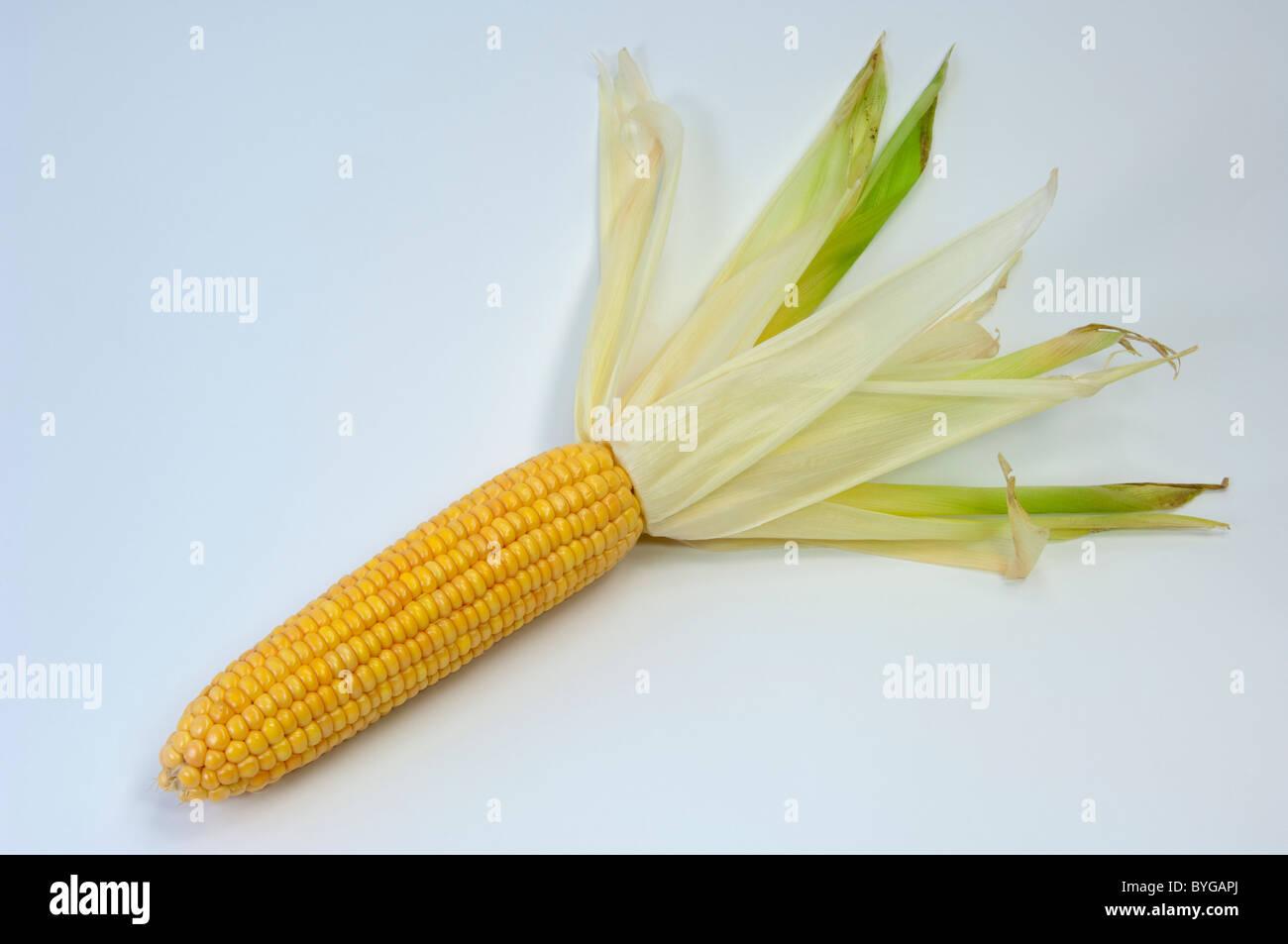 Le maïs, le maïs (Zea mays). De rafles de mûres. Studio photo sur un fond blanc. Photo Stock